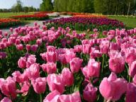 Day of Tulips